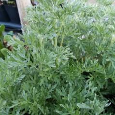 Artemisia absinthium / Malurt