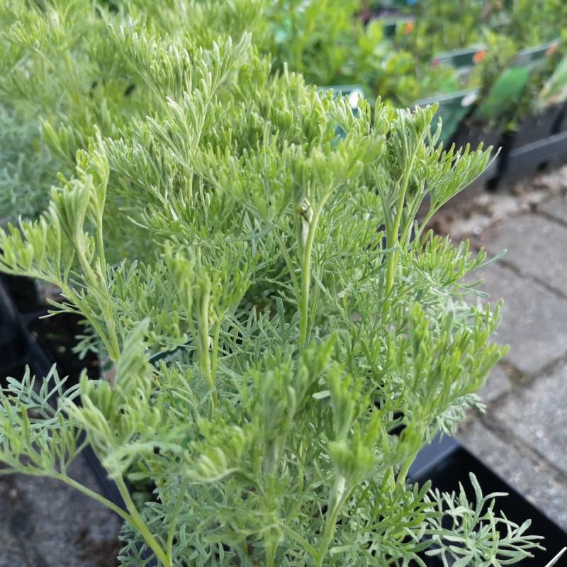 Artemisia abrotanum 'Cola' / Cola Malurt