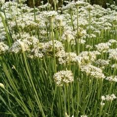 Allium tuberosum / Kinesisk Purløg