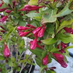 Klokkebusk Red Prince - Weigela florida Red Prince