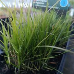 Carex muskingumensis Little Midge - Palmebladsstar