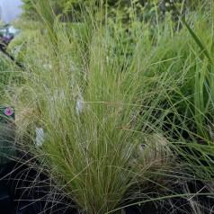Stipa tenuissima / Fjergræs