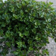 Thymus citriodorus / Citrontimian