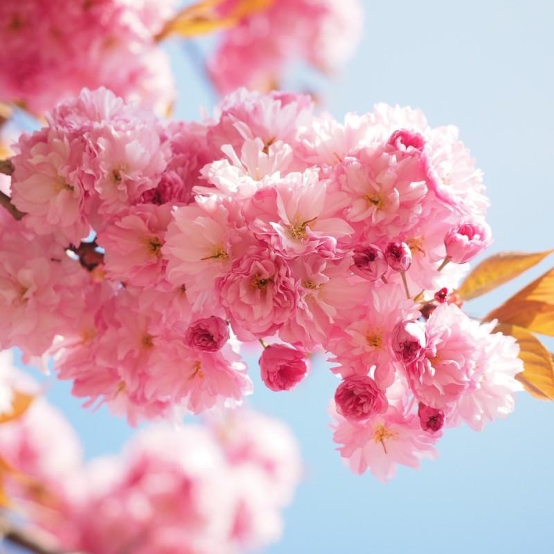 Prunus serrulata Kanzan - Japansk Kirsebær