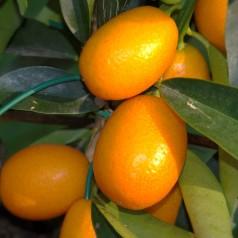 Kumquat - Gigante