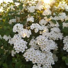 Spiraea vanhouttei - Buketspiræa