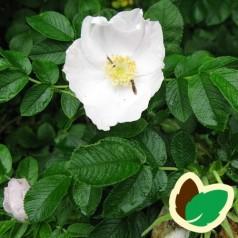 Hvid Hybenrose 50-80 cm. - Bundt med 10 stk. barrodsplanter - Rosa rugosa Alba