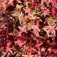 Japansk Ahorn, Acer palmatum Deshojo
