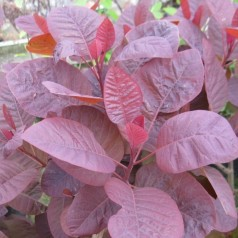 Cotinus coggygria Grace / Parykbusk