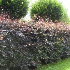 Rødbøg, Fagus sylvatica Purpurea