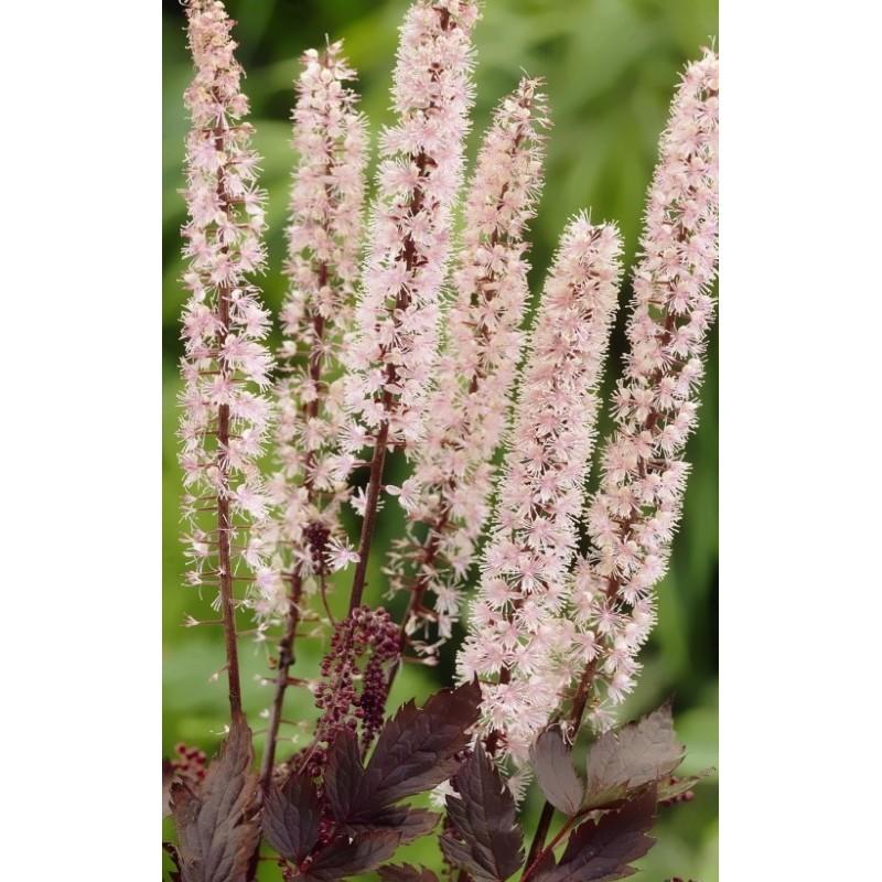 Actaea simplex Pink Spike / Sølvlys (Cimicifuga ramosa Pink Spike)