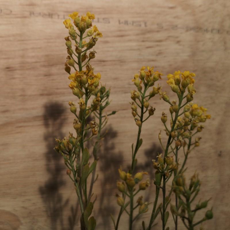 Aurinia montanum Berggold / Guldslør - Krognål