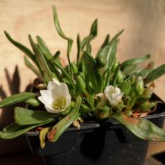 Lewisia nevadensis / Bitterrod