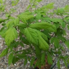 Actaea racemosa / Sort sølvlys