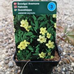 Anemone intermedia - Svovlgul Anemone