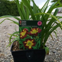Hemerocallis hybrid Night Beacon / Daglilje