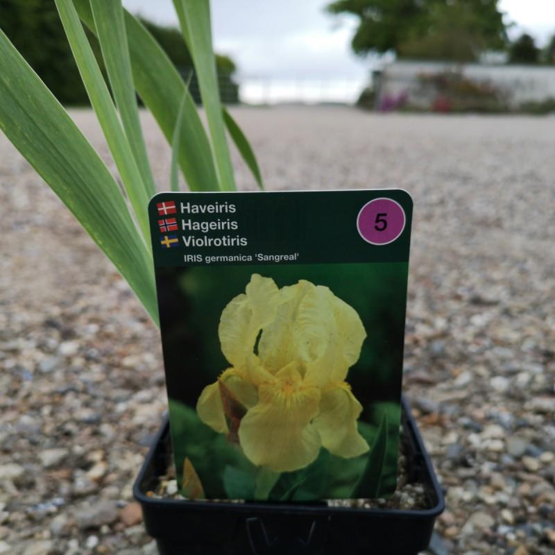 Iris germanica Sangreal / Iris