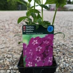 Phlox paniculata Purple Kiss / Høstfloks