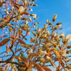 Bærmispel, Amelanchier lamarckii
