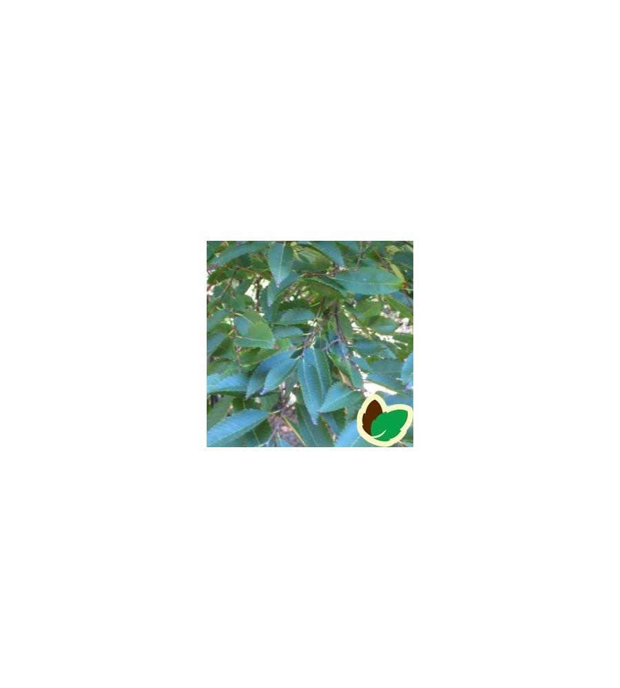 Zelkova serrata - Japansk Zelkova