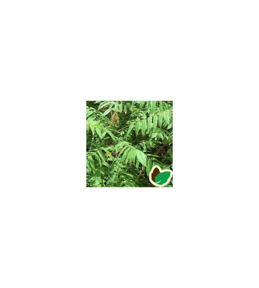 Rhus glabra / Koralsumak / Hjortetaktræ