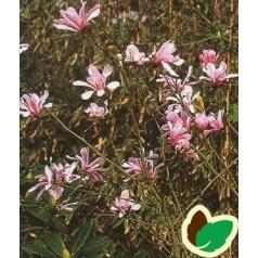 Magnolia loebneri Leonard Messel / Stjernemagnolia