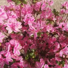Rhododendron Kermesina Rose - Japansk Azalea