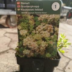 Sedum spurium Summer Snow / Stenurt