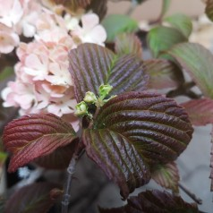 Viburnum plicatum Mary Milton - Japansk Snebolle