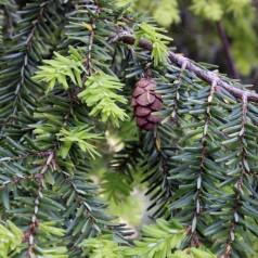 Tsuga canadensis - Østamerikansk Hemlock