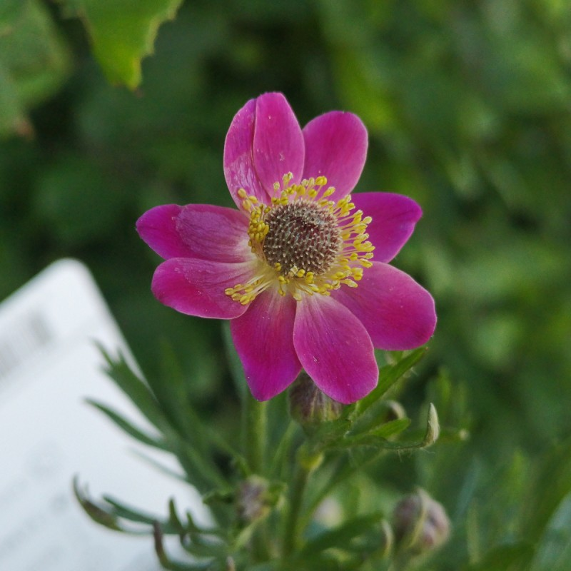 Anemone multifida Rubra / Anemone