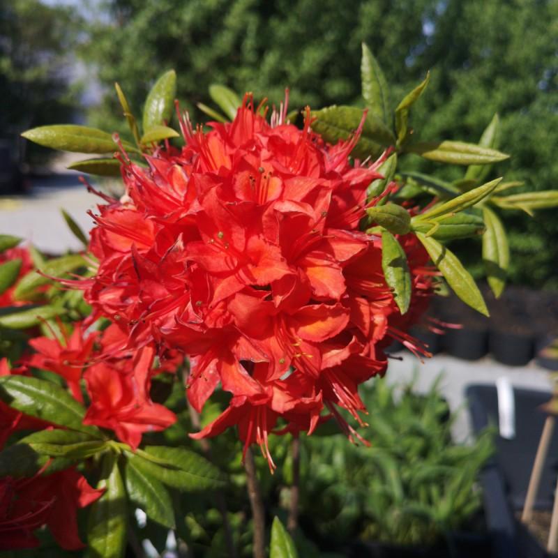 Rhododendron knaphill Satan - Haveazalia