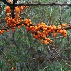 Havtorn busk 'Duo' - Hippophae Rhamnoides