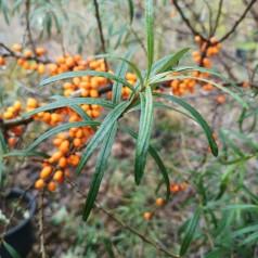 Havtorn Leikora - Hunplante