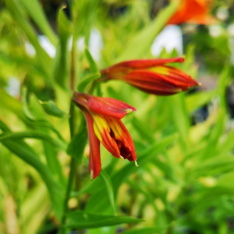 Alstroemeria aurantiaca Orange King - Inkalilje