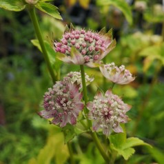 Astrantia hybrid Star of Billion - Stjerneskærm