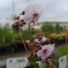 Geranium cantabrigiense Biokovo / Storkenæb