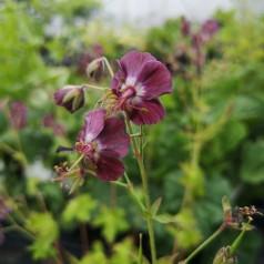 Geranium phaeum / Storkenæb