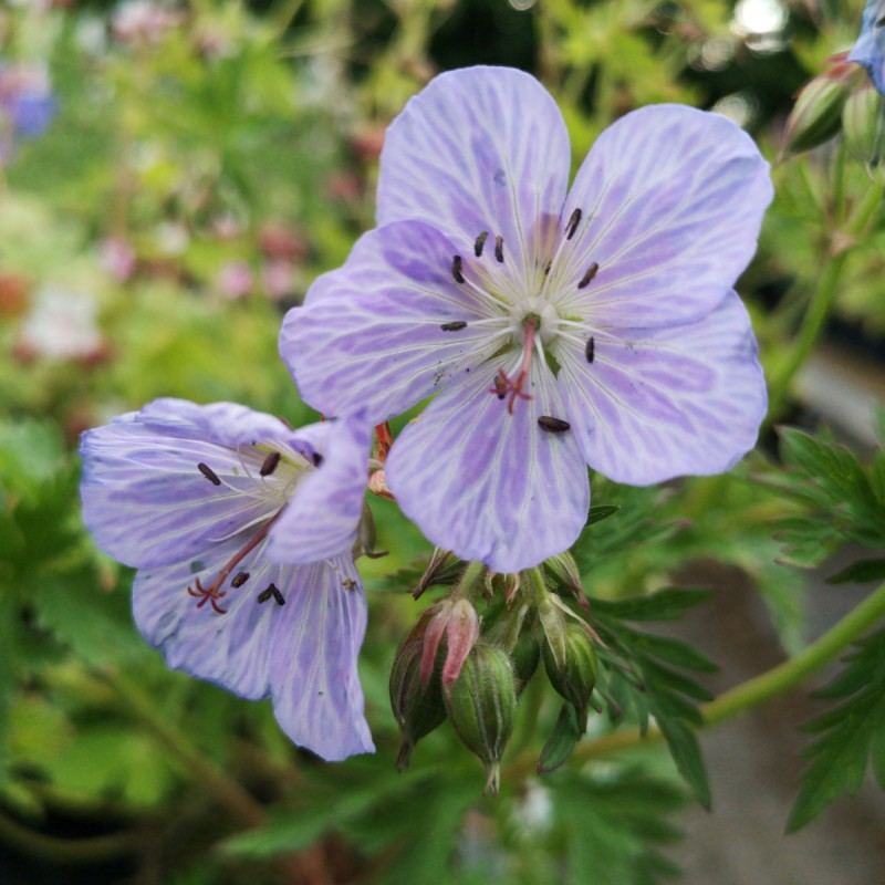 Geranium pratense Mrs. Kendall Clark / Storkenæb