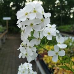 Hesperis matronalis Alba / Natviol