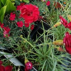 Dianthus plumarius Desmond / Fjernellike