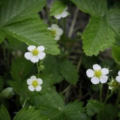 Fragaria vesca / Skovjordbær