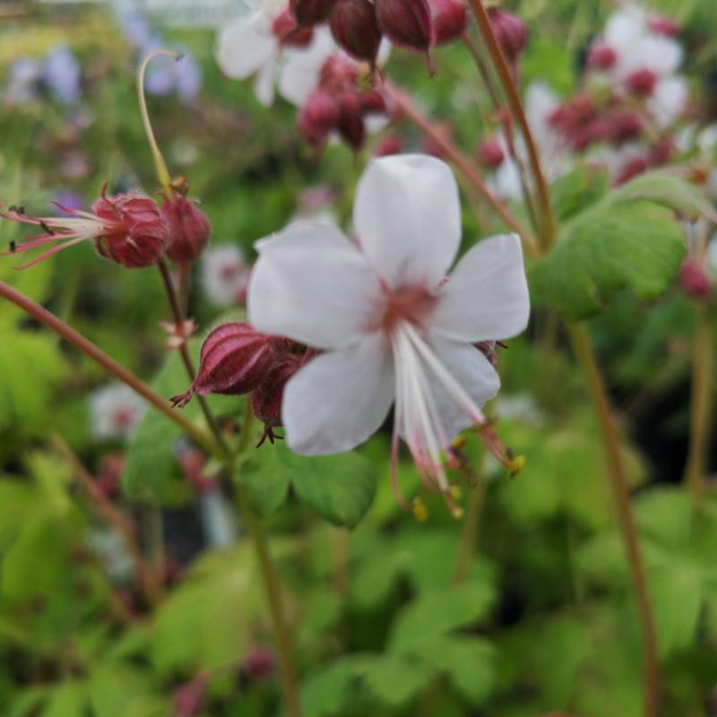 Geranium macrorrhizum Spessart / Storkenæb