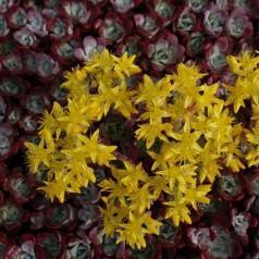 Sedum spathulifolium Purpureum / Pudret Stenurt