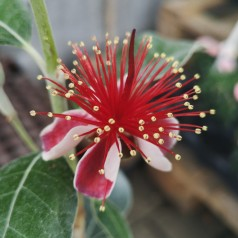 Feijoa - Acca sellowiana Coolidgei