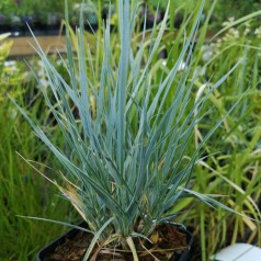 Elymus magellanicum / Blågræs