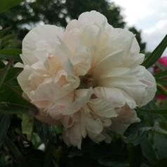 Paeonia officinalis Alba Plena / Bonderose