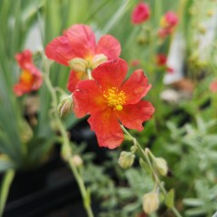 Helianthemum hybrid Fire Dragon