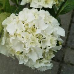 Hydrangea macrophylla Schneeball / Hortensia