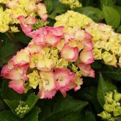 Hydrangea macrophylla Masja (Sibilla) / Hortensia